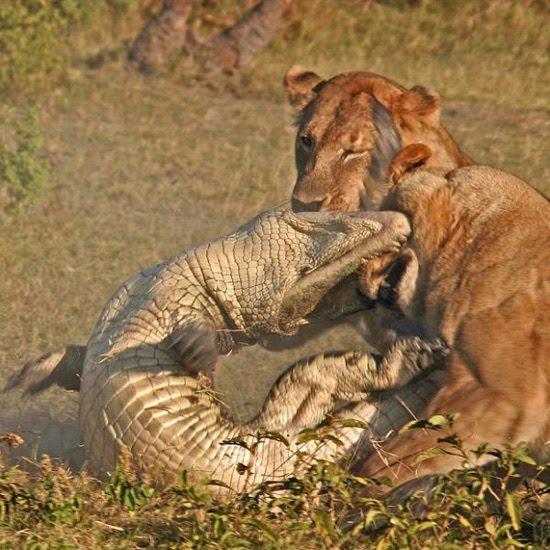 videos de leones vs tigres: