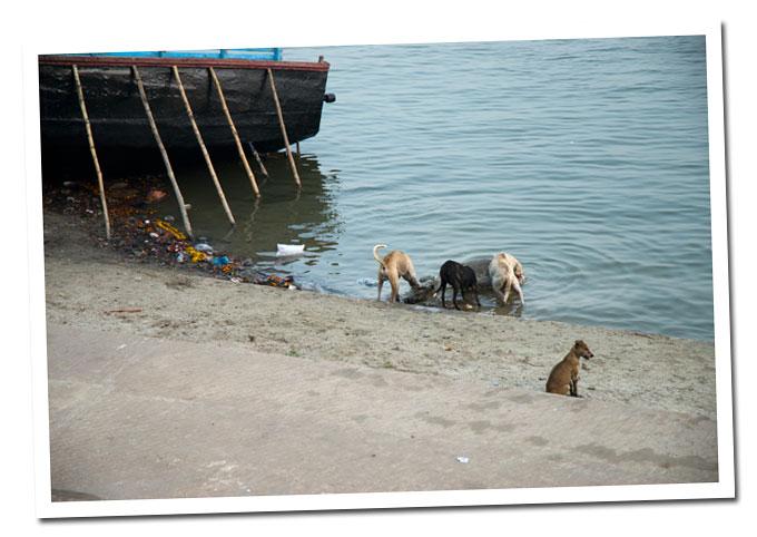 perros en varanasi