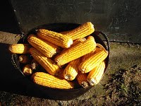 El maíz cultivado por  María Jesús