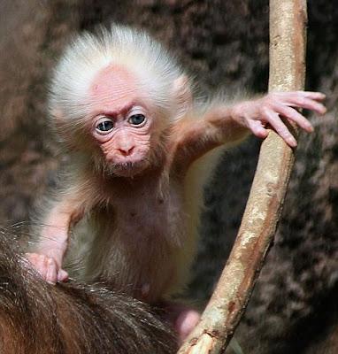 Monyet Mirip Albert Einstein