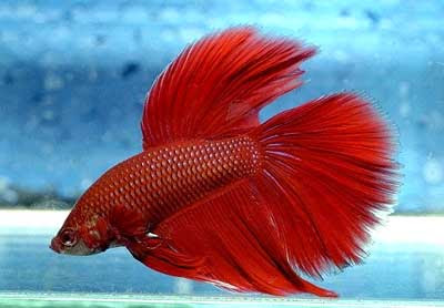 Sms buzzz fighter fish photos for Betta fish friends