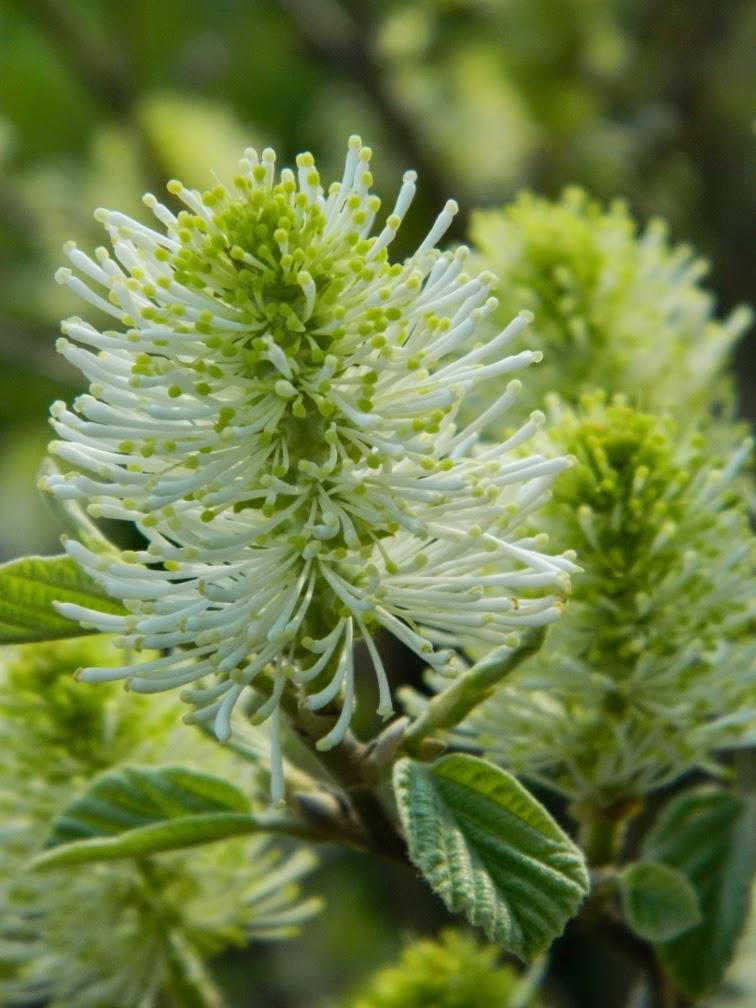 Fothergilla gardenii  (Dwarf fothergilla) spring blooms by garden muses-not another Toronto gardening blog
