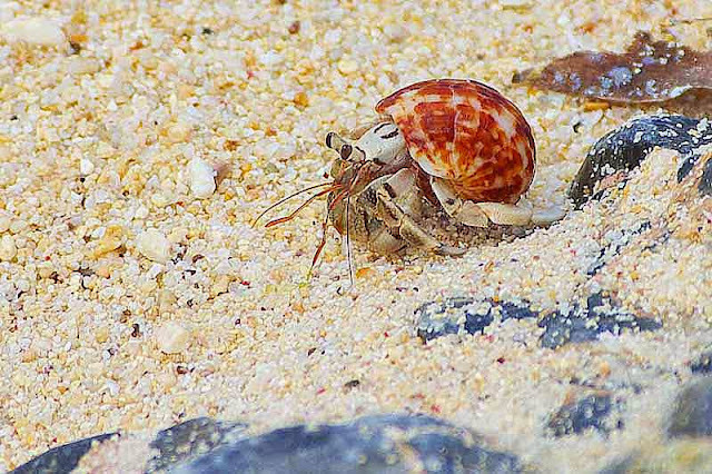Land Hermit Crab, beach