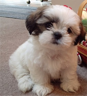Shih Tzu Pets Cute And Docile