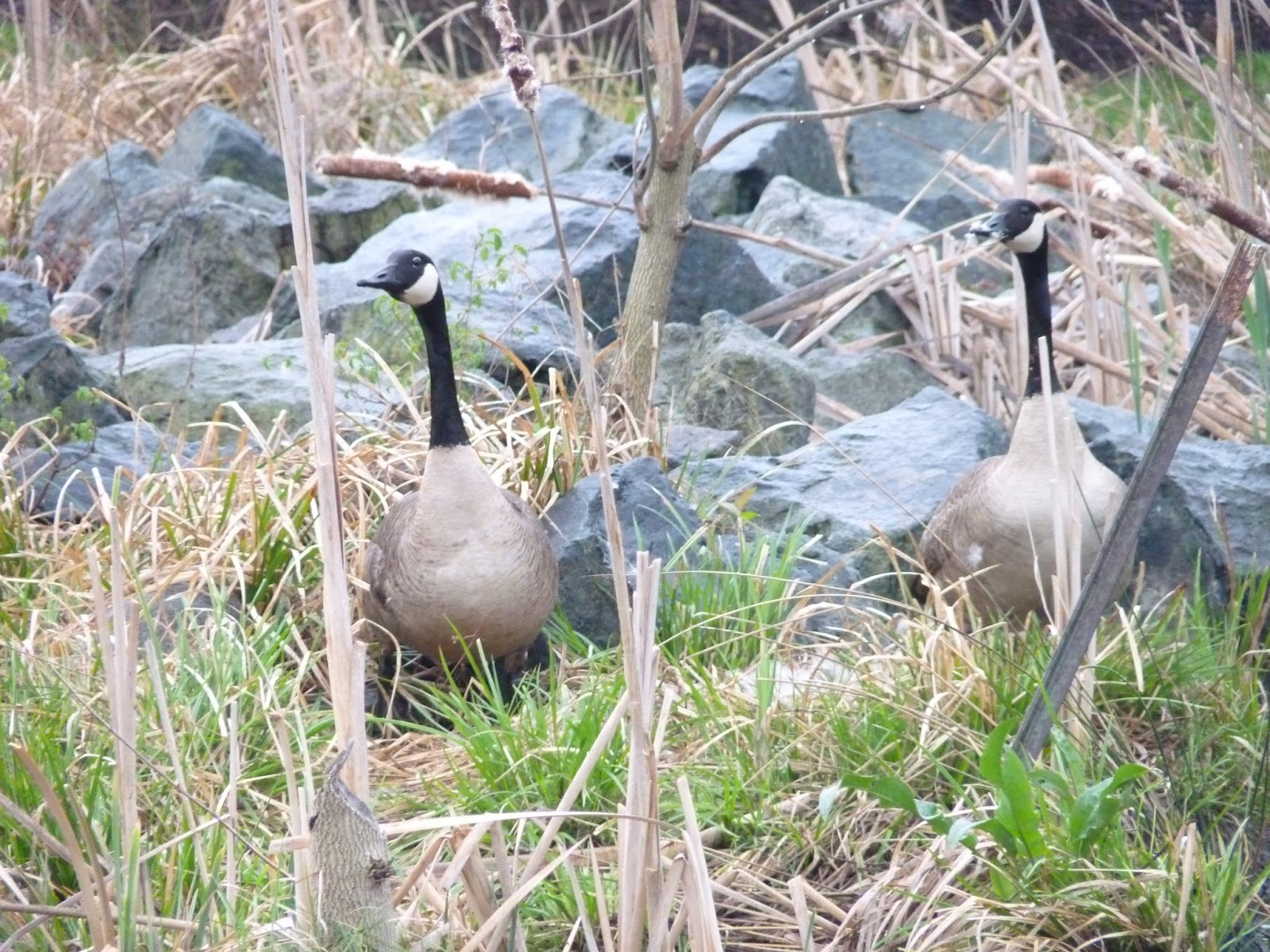 The Greenbelt April 2013 Gund Swan Princess Large Geese At Nest Site