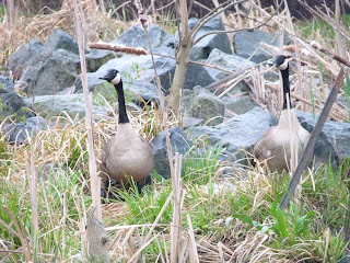geese at nest site