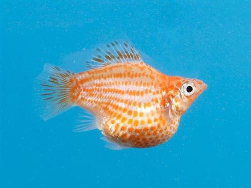 Shamudra bilash sword tail molly fish for Molly fish babies