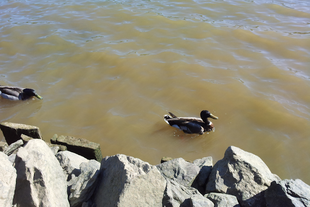 Georgetown waterfront water front duck Potomac River