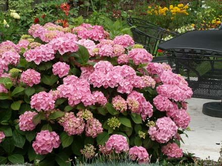 Cuidado de tus plantas las hortensias - Cuidado de las hortensias ...