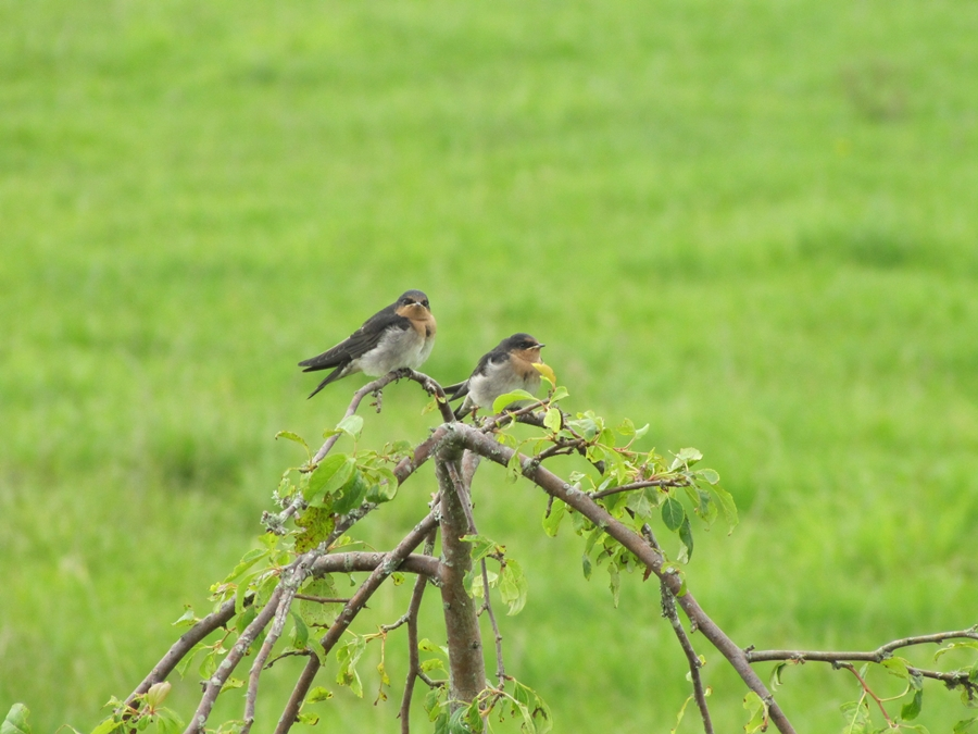 welcome-swallows=nz