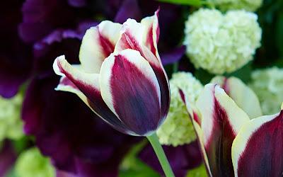 tulipan Gavota