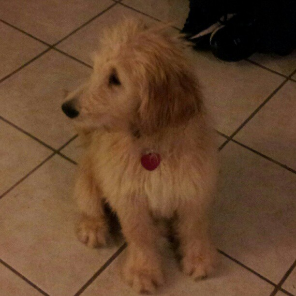 Our new baby Dougie the Goldendoodle