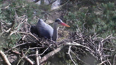 Heron on the nest
