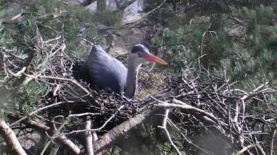 Heron on the nest