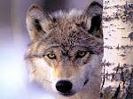 Os Lobos As Vezes São