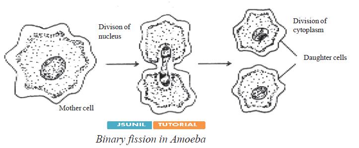 amoeba class essay Amoeba limax dujardin classification amoeba species amoeba limax name homonyms amoeba limax.