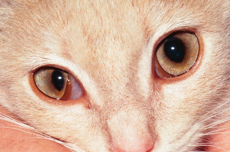 cat skin bumps scabs