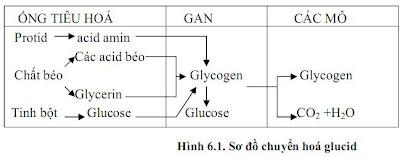 Quá trình chuyển hóa gluxit