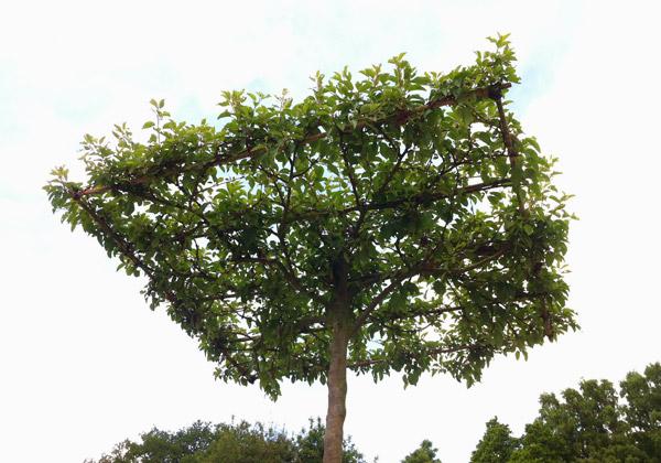Trä spaljerat till ett fyrkantigt tak.