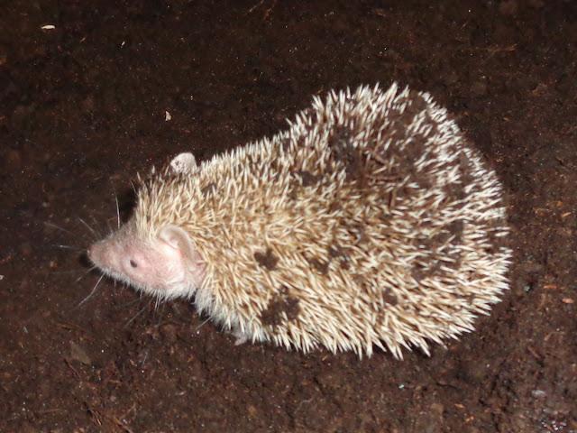 hodowla Igielnik, kreto jeż, kreto jeże, tenreki mniejsze, tenrek mniejszy, hodowla tenreków, kretojeże, kretojeż, młode tenreczki, echinops telfairi, lesser hedgehog tenrec