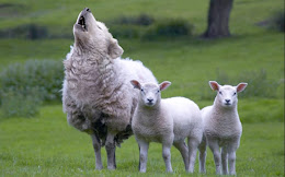 Sheep don't wear wool; they grow it.