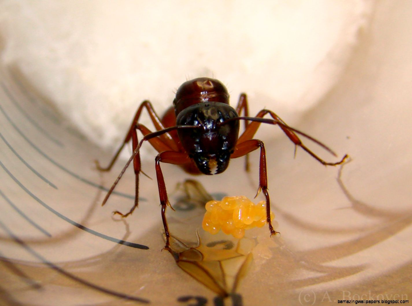 Queen Ants – Founding a new colony  6legs2many