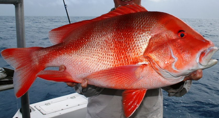 Fish index emperor red snapper lutjanus sebae for Red snapper fishing