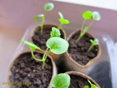 рассада мальвы, стаканчик, для рассады, из втулок, от, туалетной бумаги, горшочек для рассады, изготовление, как сделать, своими руками, аленин сад, посев, семян, мальва, наперстянка, рудбекия
