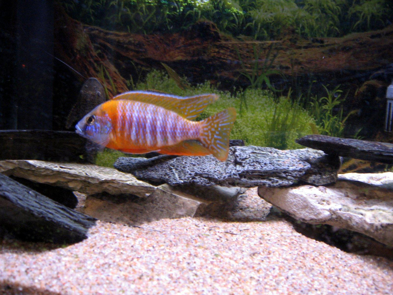 Huge aquarium fish for Sand for fish tank