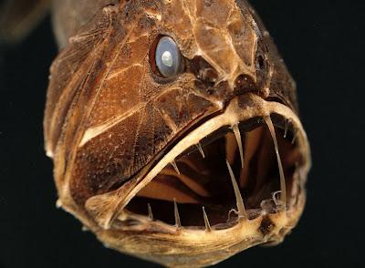 pez Fangtooth (Anoplogaster brachycera).