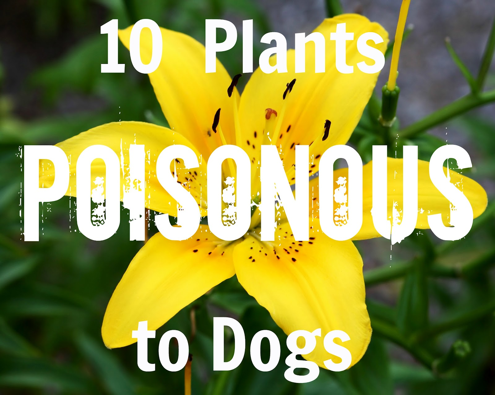 Toxic plants for dogs and cats the danger behind flowers home dangerous plants for cats and dogs dog breeds picture toxic plants for dogs and cats the danger behind flowers izmirmasajfo Choice Image