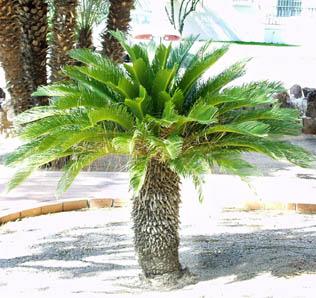 Il giardino della terra classe cicadine for Pianta cycas