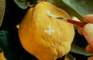Close Up Still of artist marking a quince fruit on a tree branch
