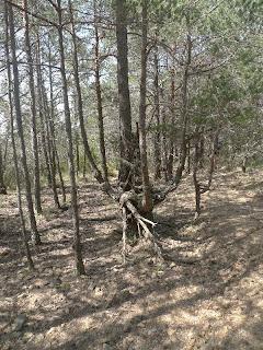 Pi curiós al bosc del Petaca