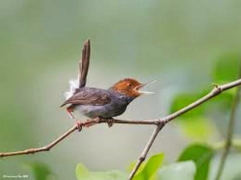 Foto Burung Ciblek Gunung Terbaik
