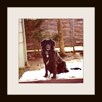 picture of black labrador retriever sitting on picnic table