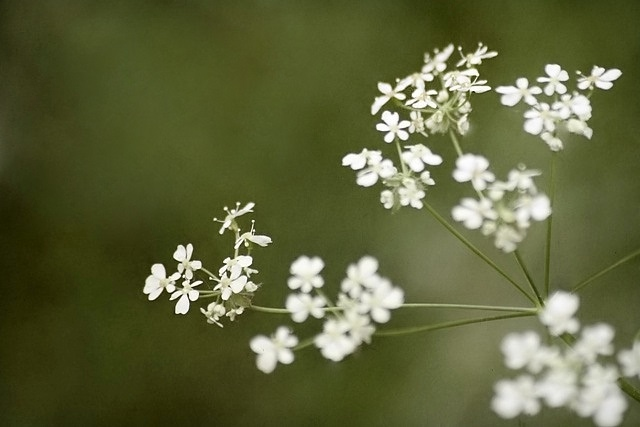 Cow Parsley in flower