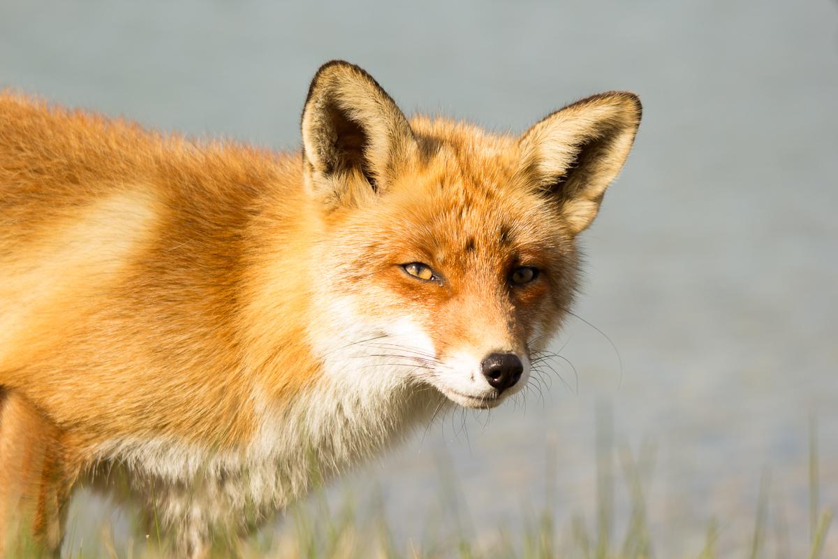 Oog in oog met een vos