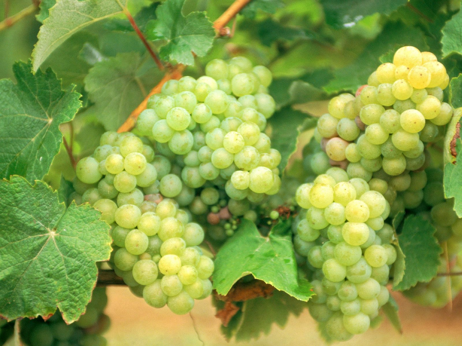 Grapes High Quality Wallpapers Free Download - Wallpapers ...