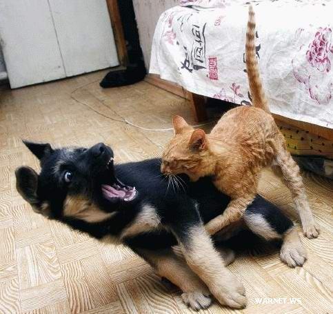 Kucing Vs Anjing