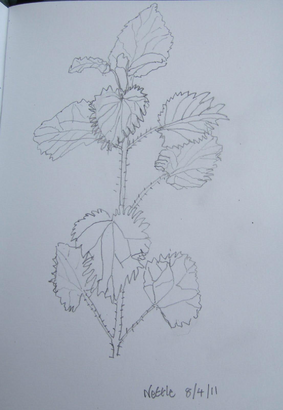 Nettle sketch