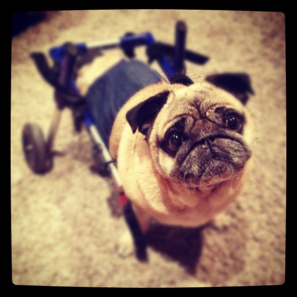 pug, dog wheelchair