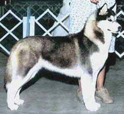 Foto Anjing Siberian Husky Hitam & Putih