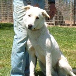 White German Shepherd ...