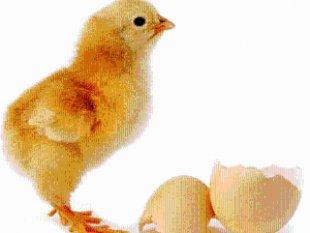 Wow Ada Ayam Melahirkan Asriyani Amrullah