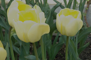 The pale primrose yellow exterior of the mystery tulip contrasts beautifully with the deeper buttercup shade within. Looks like a glowing lantern!