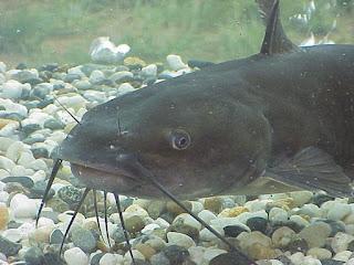 Gambar ikan keli