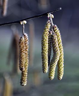 Haselblüte mit männlichem und weiblichem Blütenstand