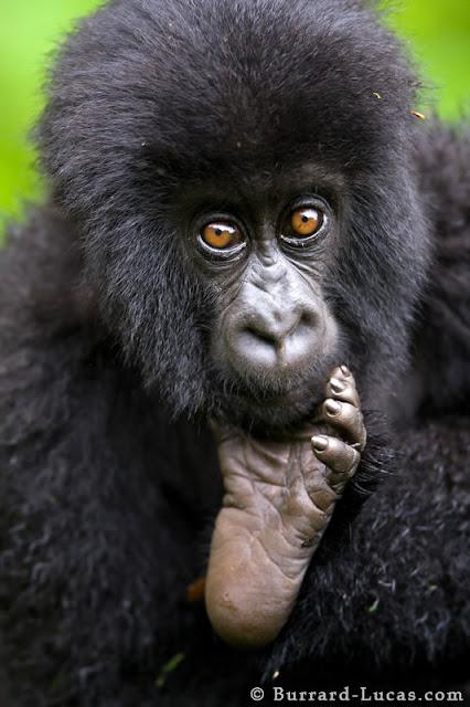 صور لأجمل اللقطات التصويرية Baby+Gorilla