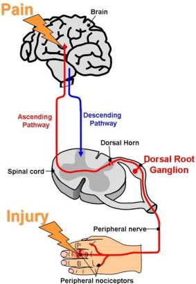 neural pathways and mechanisms in pain sensation Sensation, pain unpleasantness, and these pain dimensions and their interactions relate to ascending spinal pathways and a central network of brain structures that process nociceptive information both the evidence for underlying neural mechanisms of sensory, unpleasantness, and secondary.